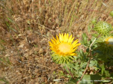 great valley gumweed