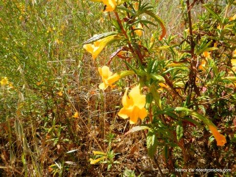 bush monkeyflowers