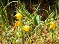 endemic mt diablo globe tulip