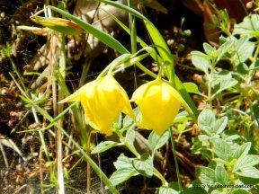 endemic mt diablo globe tulips