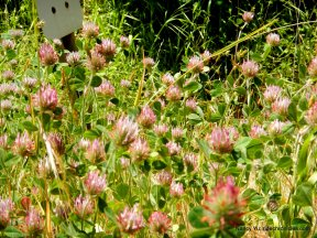 rose clovers