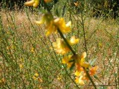 sweet yellow clover