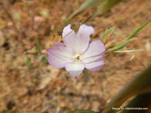 pink springflower