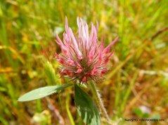 roase clover