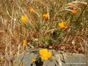 californiapoppies