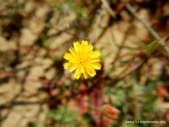 false dandelion