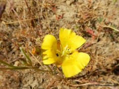 yellow mariposa lily