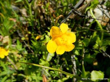 golden monkeyflowers