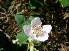 california blackberry