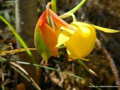 mt diablo globe tulip