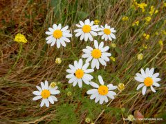 mayweed