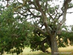 bay area ridge trail -lone oak