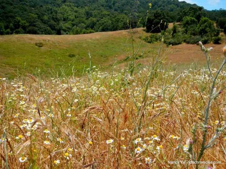 mayweed field