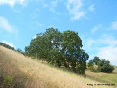 oak studded hill