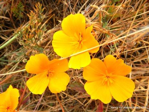 californai poppies