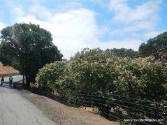 california buckeye blooms