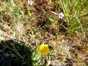 sunflower-broadleaf filaree