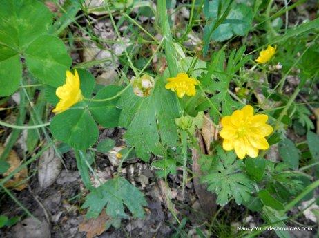 california buttercups