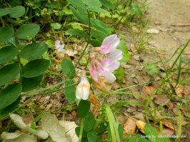 woodland pea