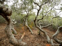 pygmy oaks