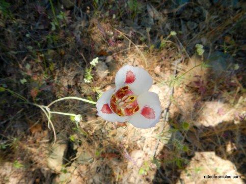 mariposa lily