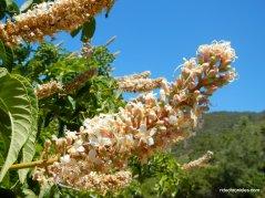 california buckeye