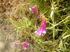 purple vetch
