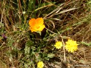 poppy, smooth hawksbeard, common madia