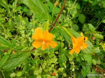 bush monkeyflowers