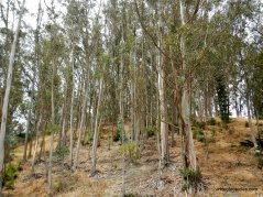 wildcat creek trail eucalyptus grove
