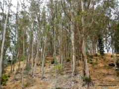 wildcat creek trail eucalyptus grove