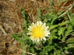 smooth hawksbeard