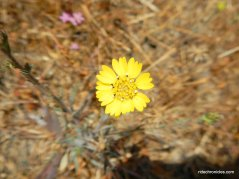 yellow tarweed
