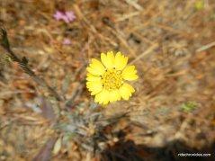 yellow tarweed