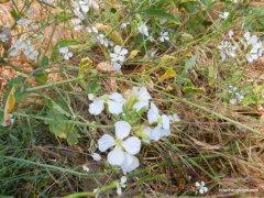 white wild radish