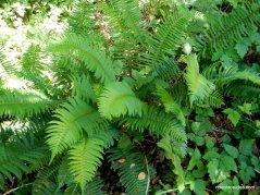 selby trail ferns