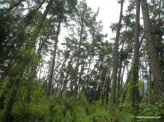 thin pines