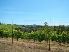 ridge top vineyard