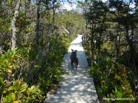 pygmy forest boardwalk