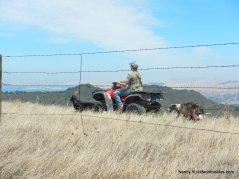 out cattle herding