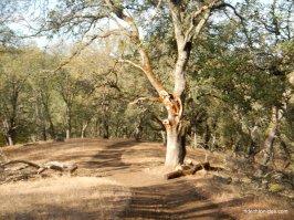 ringtail cat trail
