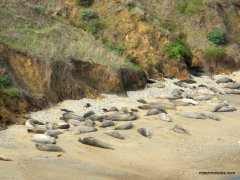 northern elephant seal colony