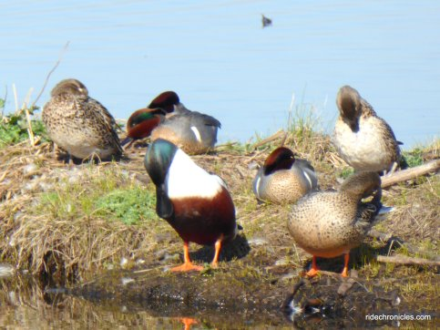 waterfowl-migratory birds waterfowl-migratory birds