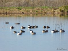 waterfowl-migratory birds