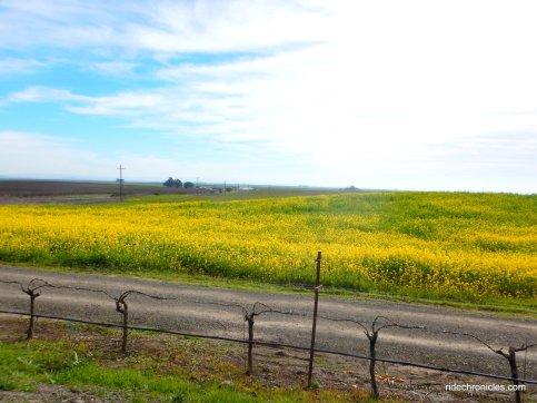 yellow mustards!