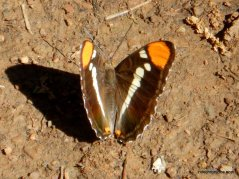 california sisters butterfly