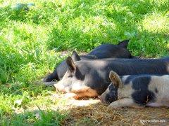 kune pigs