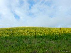 wild mustards