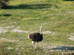 ostrich courtship dance