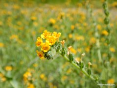 fiddlenecks